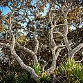 Florida Scrub Oaks Painted   by Rich Franco