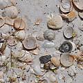 Florida Seashells by Vonda Barnett