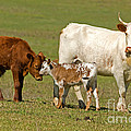 Florida Spanish Cattle by Millard H. Sharp