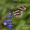 Florida State Butterfly by Carol  Bradley