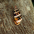 Florida Tree Snail. Everglades N.p. by Chris  Kusik
