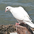 Florida White Pigeon by Richard Bryce and Family
