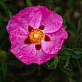 Flower 1 by Carol Tsiatsios