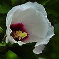 Flower 157 by Ingrid Smith-Johnsen