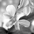 White Orchid by Mike McGlothlen
