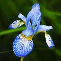 Flower 237 by Ingrid Smith-Johnsen