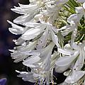 Flower-agapanthus-white-flora by Joy Watson