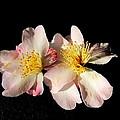 Flower Azalea. by Joyce Woodhouse