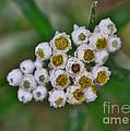 Flower Buttons by Mae Wertz