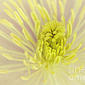 Flower Centre by Svetlana Sewell