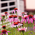 Flower - Cone Flower - In An English Garden  by Mike Savad