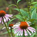 Flower - Cone Flower- Luther Fine Art by Luther Fine Art
