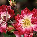 Flower-cream-pink-red-rose by Joy Watson