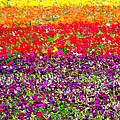 Flower Fields by Jerome Stumphauzer