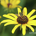 Flower Fly And Yellow Flowers by Clarence Holmes