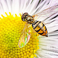 Flower Fly On Daisy Fleabane I by Clarence Holmes