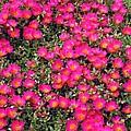 Flower Garden 39 by Pamela Critchlow