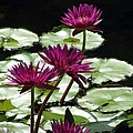 Flower Garden 59 by Pamela Critchlow