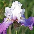 Flower Garden Iris Blooming by George Ferrell