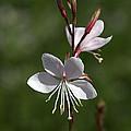 Flower-gaura-white  by Joy Watson
