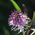 Flower-hebe  by Joy Watson