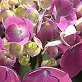 Flower-hydrangea Pink by Joy Watson
