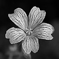 Flower In Black And White by David Freuthal