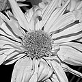 Flower In Black And White by Tikvah's Hope