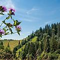 Flower In The Carpathians by Alain De Maximy