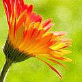 Flower In The Sunshine - Orange Green by Natalie Kinnear