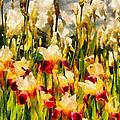Flower - Iris - Mildred Presby 1923 by Mike Savad