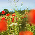 Flower Meadow In Summer With Red Poppy by Matthias Hauser