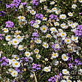 Flower Mix - Purple And White by Carol Groenen