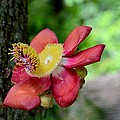 Flower Of Cannonball Tree Singapore by Imran Ahmed