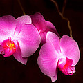 Flower - Orchid - Better In A Set by Mike Savad