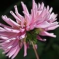 Flower-pink Dahlia-bloom by Joy Watson