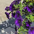 Flower Pot And Shadows 1 by Anita Burgermeister