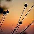 Flower Silhouettes I by Kathy Sampson