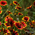 Texas Indian Blanket -  Luther Fine Art by Luther Fine Art
