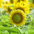 Flower - Texas Sunflower Field 1 - Luther Fine Art by Luther Fine Art