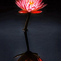 Flower - Water Lily - Nymphaea Jack Wood - Reflection by Mike Savad