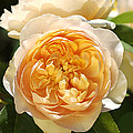 Flower-yellow Roses by Joy Watson