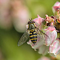 Flowerfly Pollinating Blueberry Buds by Susan Capuano
