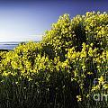 Flowering Bush by Timothy Hacker
