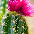Flowering Cactus by Erika Weber