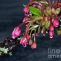 Flowering Cherry Trees Buds by Ellen Miffitt