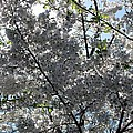 Flowering Cherry - White by Pamela Critchlow