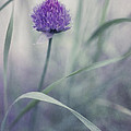 Flowering Chive by Priska Wettstein