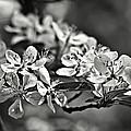 Flowering Crabapple 2 Bw by Scott Wood