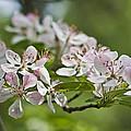 Flowering Crabapple 2 by Scott Wood